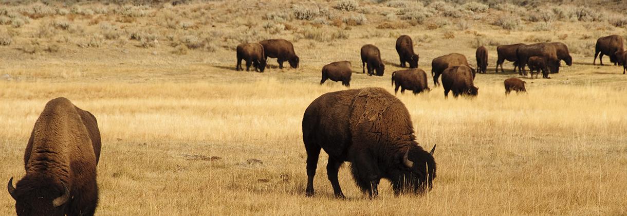 slider-bison-3